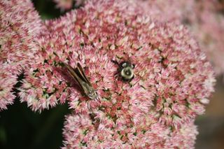Moth and bee